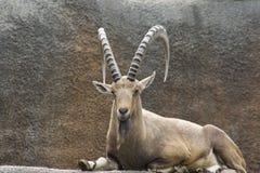 Nubian Ibex (Capra nubiana) Stock Images