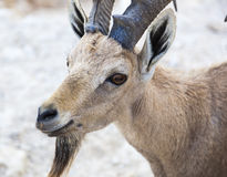 Nubian ibex (Capra Nubiana). Ramon Crater. Negev desert. Israel Stock Images