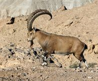 Nubian ibex Capra nubiana sinaitica with beautiful horns in Sde Boker. Handsome male Royalty Free Stock Photography