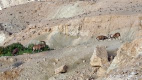 Nubian ibex Capra nubiana sinaitica in Sde Boker. Fighting old males in mountains. Negev desert of southern Israel royalty free stock photo