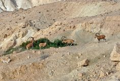 Nubian ibex Capra nubiana sinaitica in Sde Boker. Fighting old males. Negev desert of southern Israel in summer stock images