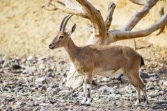 Nubian ibex Capra nubiana Stock Photo