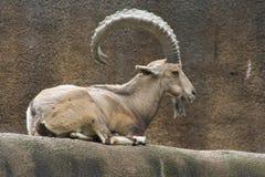 Nubian Ibex (Capranubianaen) Arkivfoton