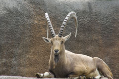 Nubian Ibex (Capranubianaen) Arkivbilder