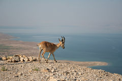 Nubian Ibex in the Dead Sea. Royalty Free Stock Photo