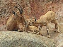 Nubian Ibex Stock Images