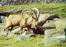 Nubian Ibex goat. Capra Nubian Ibex goat with great curved horns walking among rocks Royalty Free Stock Image