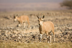 Nubian Ibex goat on desert Royalty Free Stock Images