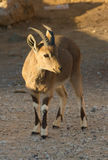 Nubian Ibex Goat Ramon Crater in Israel Stock Photography