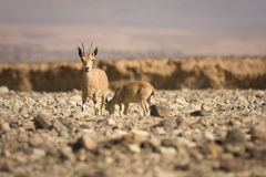 Nubian Ibex goat with young Royalty Free Stock Photos