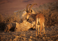 Nubian ibex in Israel Stock Photo