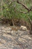 Nubian ibex, Israel stock photo