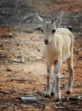 Nubian Ibex kid Stock Photo