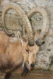 Nubian Ibex Stock Image