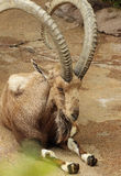 Nubian Ibex Stock Photography