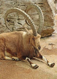 Nubian Ibex Royalty Free Stock Photography