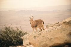 Nubian Ibex Royalty Free Stock Photo