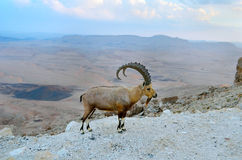 Nubian ibex on the rim of the crater Ramon. Ibex on the cliff at Ramon Crater in Negev Desert in Israel Stock Image