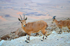 Nubian ibex on the rim of the crater Ramon. Mountain goat on the slopes of the crater Makhtesh Ramon, Israel Royalty Free Stock Photo