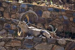 A nubian ibex on a terrace royalty free stock photo