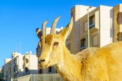 Nubian Ibex in the urban area of Mitzpe Ramon town stock photo