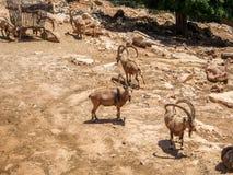 Nubian ibexes, Biblical Zoo in Jerusalem, Israel Royalty Free Stock Image
