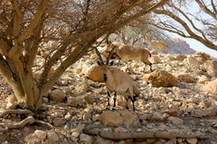 Nubian Ibexes in the Judea Desert. Three male Nubian Ibexes on the slopes of the Mountains in Ein Gedi Oasis. Taken at, Ein Gedi Oasis, Ein Gedi Nature Reserve Royalty Free Stock Photo