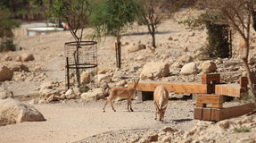 Nubian Ibexes on the Path in Ein Gedi, Israel Royalty Free Stock Image