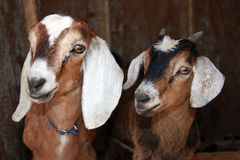 Nubian and Kinder Goats. Two very cute young goats peeking out of their shelter Royalty Free Stock Image