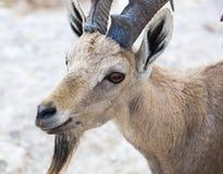 山羊属高地山羊nubian nubiana 拉蒙火山口 Neqev沙漠 以色列 库存图片