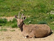 Nubian Steinbock Lizenzfreies Stockfoto