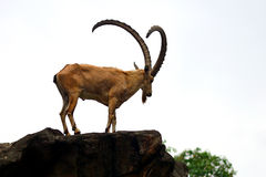Nubian Steinbock Stockfotografie