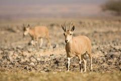 Nubian Steinbockziege auf Wüste Lizenzfreie Stockbilder