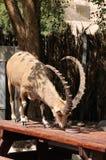 Nubian stenbock Fotografering för Bildbyråer