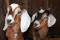 Nubian und freundlichere Ziegen Lizenzfreies Stockbild