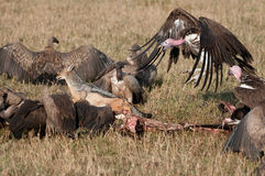 Nubian vulture chasing jackle from kill Royalty Free Stock Photo