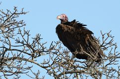 Nubian Vulture (Torgos Tracheliotos). The Nubian Vulture you can also call lappet-faced vulture Stock Photo