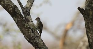 Nubian woodpecker hits trunk of tree. Nubian woodpecker, Campethera nubica, pecks tree trunk covered with lichen and eats insects at Abidjatta-Shalla National stock video