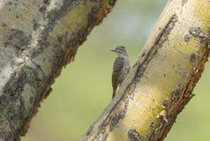Nubian Woodpeckerseen em Masai Mara fotos de stock royalty free