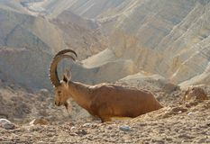 Nubiana Capra ibex Nubian в пустыне Негев стоковые изображения
