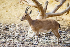 Nubiana Capra ibex Nubian Стоковое Фото