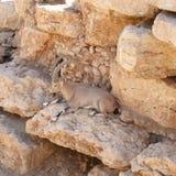 Nubiana dello stambecco del Capra Fotografie Stock