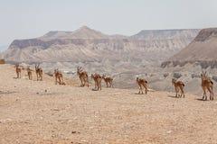 Nubiana van Negevcapra met woestijnachtergrond Stock Foto