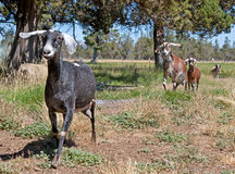 Nubians Goats and A Sheep In A Field Stock Photography
