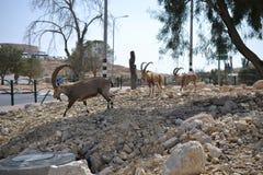 Nubiansteenbok die straat in Mitzpe Ramon, Negev-woestijn, Israël kruisen royalty-vrije stock foto