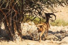 Nubiansteenbok in Ein Gedi (Nahal Arugot) bij het Dode Overzees, Israël Royalty-vrije Stock Fotografie