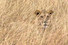 Nubica africano del este de leo del Panthera del león imagen de archivo