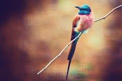 Nubicus Merops, северный пчел-едок кармина, африканская близко птица воробьинообразного стоковое фото