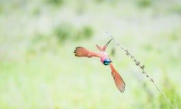 Nubicus septentrional del Merops del Abeja-comedor del carmín en vuelo Foto de archivo libre de regalías