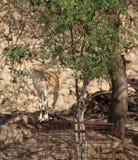 Nubijscy koziorożec łasowania liście przy Ein Gedi Obraz Stock